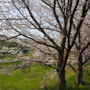 日本一時帰国④10年ぶりのお花見