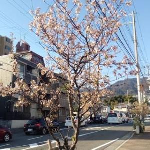 本来、サクラは秋に咲く !?