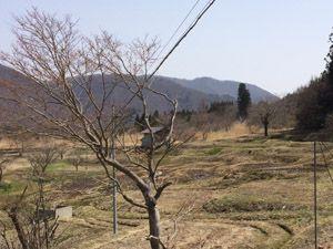 福島県内の桜開花情報
