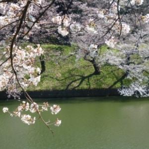 満開の桜は散らない