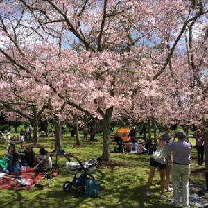 ニュージーランドは桜の季節♬ ( ̄▽ ̄)