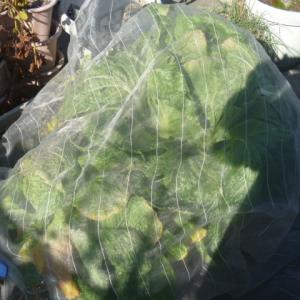 白菜はそろそろ収穫