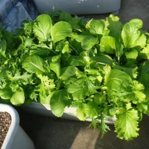 大事な葉野菜も急成長