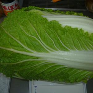 白菜 収穫
