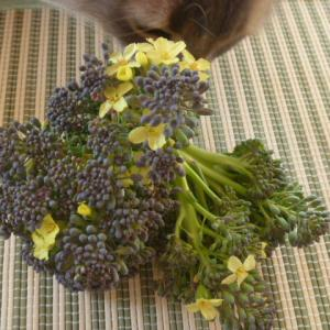 ブロッコリー第2弾の収穫