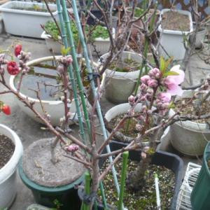 水蜜桃、開花