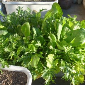 それから約1か月後の葉野菜