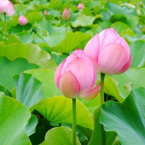 蓮の花と、中華ナイト。