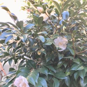 2月11日の時間帯は土日と同じです 白椿一輪プレゼント!