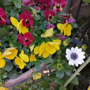 オステオスペルマムが咲きました  今年こそは切り戻しを