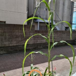 9月26日も新規受付可能に トウモロコシ今年も失敗 長梅雨のせいか?