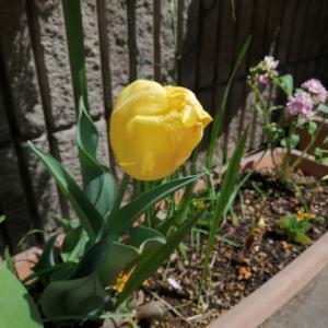 お休み中も痩せていく❗️ 3週間近くも咲いてくれたチューリップ