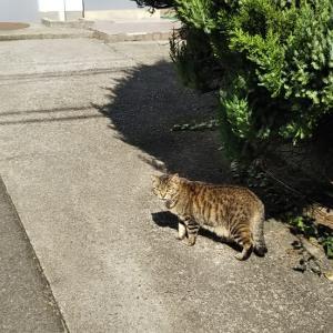 尻尾のぶっとい猫さん