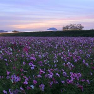 夜明けのコスモス畑