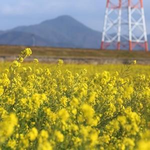 吉野川の菜の花畑