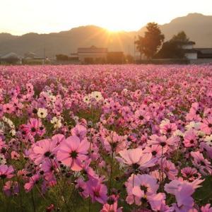 朝日に輝くコスモス畑