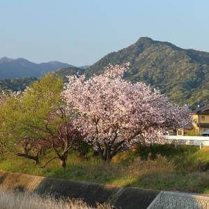 【八重桜】 お気に入りの場所から