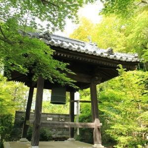 玉泉寺の藤