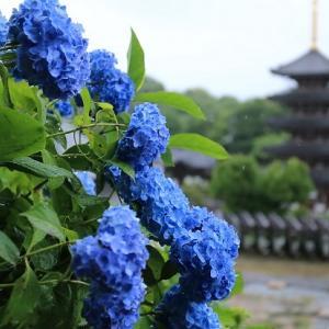 法然寺の紫陽花