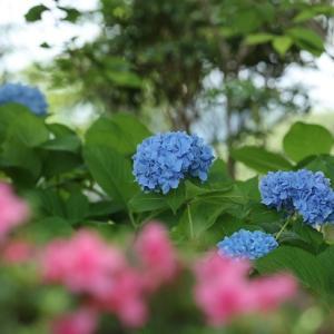亀鶴公園の花菖蒲