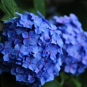 白鳥温泉の紫陽花
