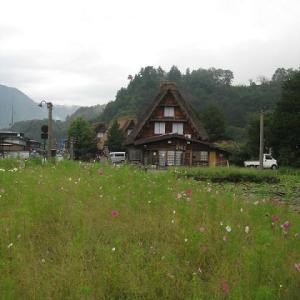 コスモス咲く白川郷を描く