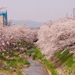 【春散歩】佐保川の桜~just for you~190407
