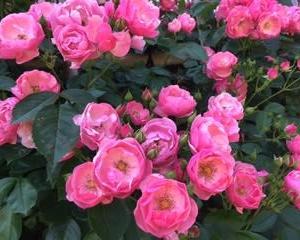 努力にバラの花束を