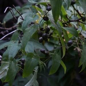ヤマノイモのムカゴ