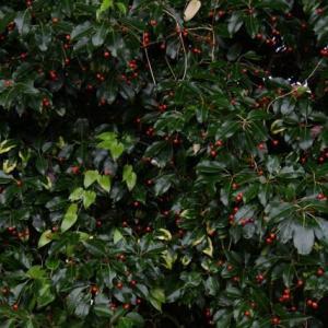 ソヨゴの果実
