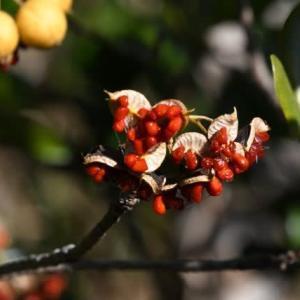 トベラの果実などなど