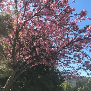 八重桜٭❀*