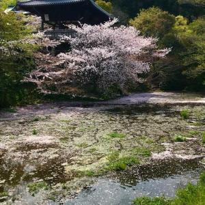高松市石清尾八幡宮の桜