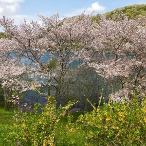 前山湖畔広場の桜