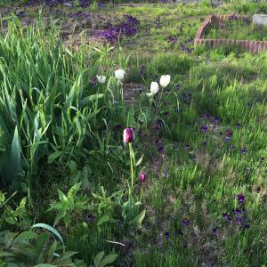 庭のお花 白と紫のしましまチューリップ すみれ ツツジ 紫の花