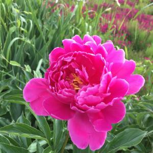 今日のお花 芍薬やバラなどなど