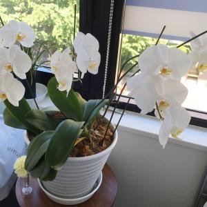胡蝶蘭が見事に咲いています
