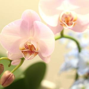 今週のお花一眼レフバージョンブログアップ版です。 胡蝶蘭が咲きましたー