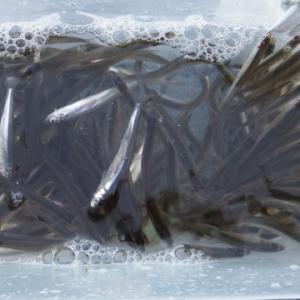 ワカサギ釣り 余呉湖 2021年1月 シーズン九回目