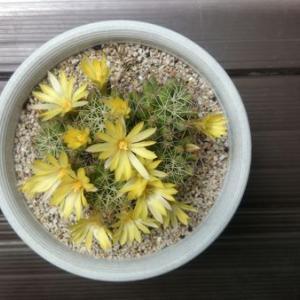 ことしもサボテンの花が咲いたよ!