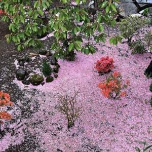 散る桜 ・・・