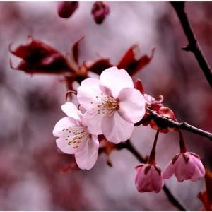桜 ・・・