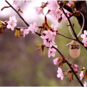 桜がきれい ・・・