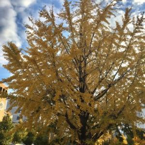 堀川銀杏並木黄葉