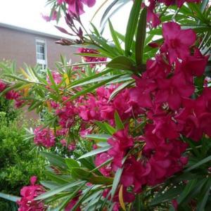 赤い夾竹桃