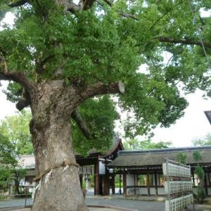 樹齢400年以上の樟