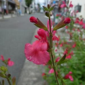 道端で咲いていた花チェリーセージ