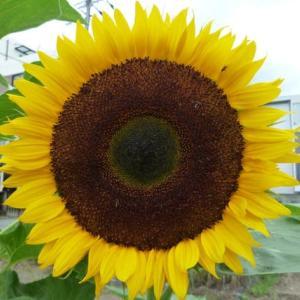 太陽の花 ひまわり