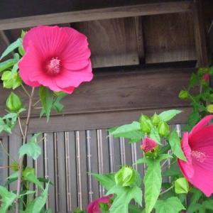 日本家屋にムクゲ