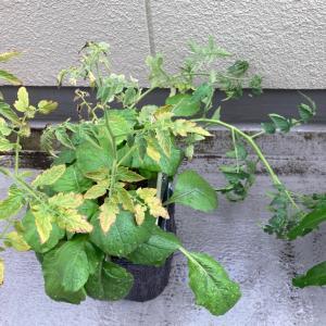 ゲリラ豪雨とトマトと黄化病